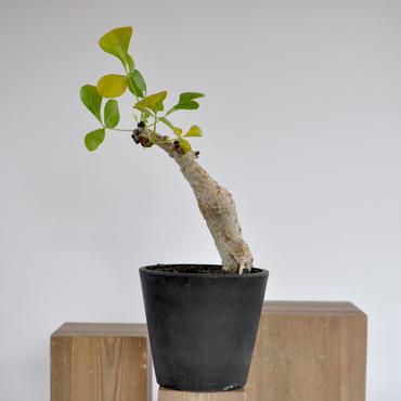 Commiphora guidotti