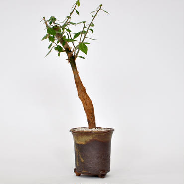 Commiphora lindensis