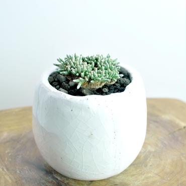 Avonia quinaria ssp.alstoniino.1