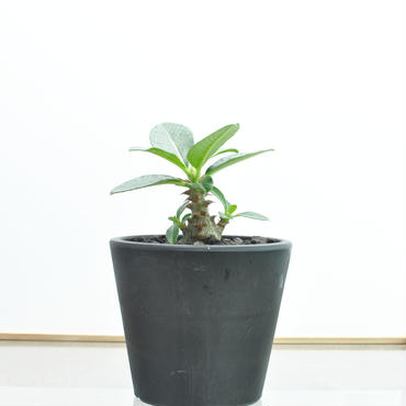 Pachypodium baronii var. windsorii no.2