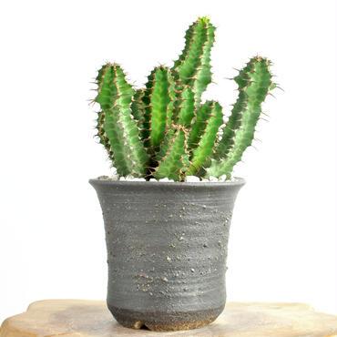 Euphorbia perangusta