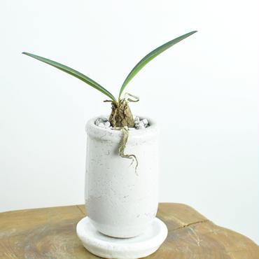 Haemanthus lanceifolius