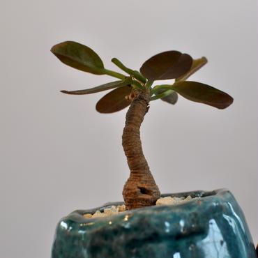 Euphorbia brunellii   3009241