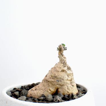 Othonna tuberosa