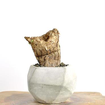 Pelargonium triste no.3 2018.02.25