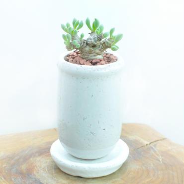 Othonna clavifolia