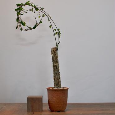 Adenia olaboensis    3009243
