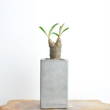 Euphorbia silenifolia