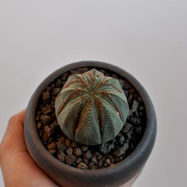 Euphorbia obesa   3009241