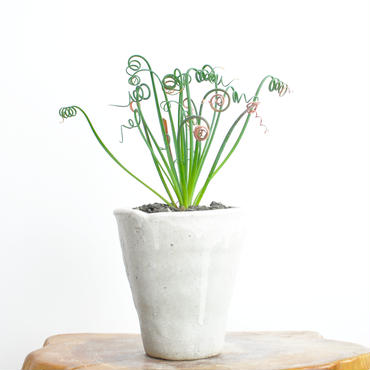 Albuca spiralis cv. Frizzle sizzle no.2 2018.01.21