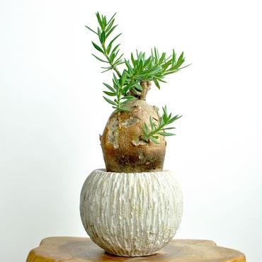 Pachypodium bispinosum 300824B