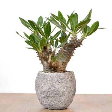 Pachypodium rosulatum var.horombense
