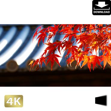 2043010 ■ 京都 東寺の紅葉