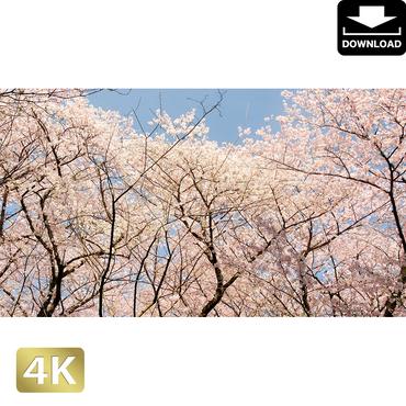 2020021 ■ 花見 桜