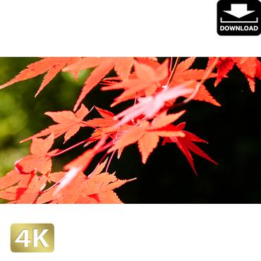 2043016 ■ 京都 東寺の紅葉
