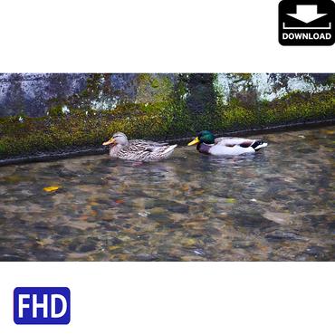 4043069 ■ 京都 紅葉 鴨