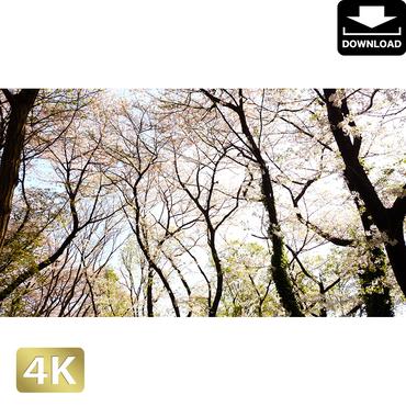 2032028 ■ 花見 桜