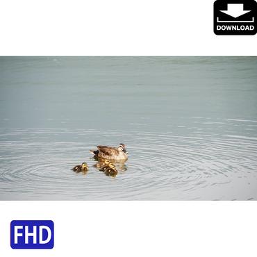 4009007 ■ 鴨の親子