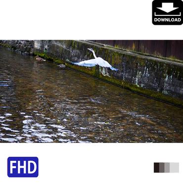 4043085 ■ 京都 紅葉 アオサギ