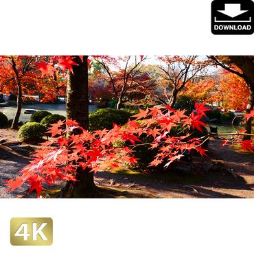 2043046 ■ 京都 東寺の紅葉