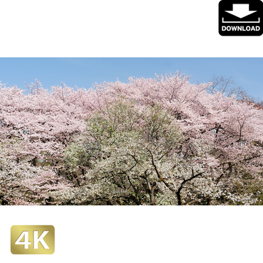 2020017 ■ 花見 桜