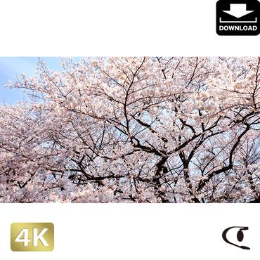 2032001 ■ 花見 桜