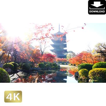 2043002 ■ 京都 東寺の紅葉