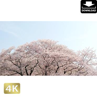 2020024 ■ 花見 桜