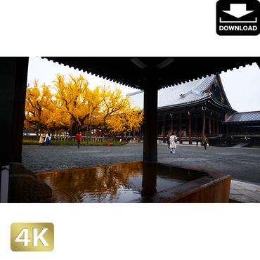2043129 ■ 京都 西本願寺 紅葉