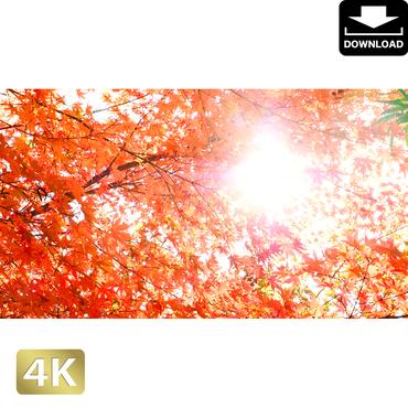 2043026 ■ 京都 東寺の紅葉