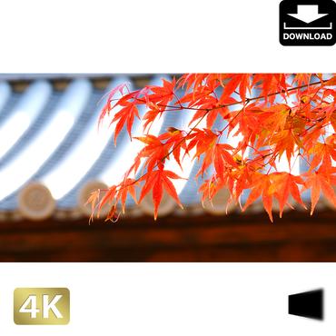 2043012 ■ 京都 東寺の紅葉