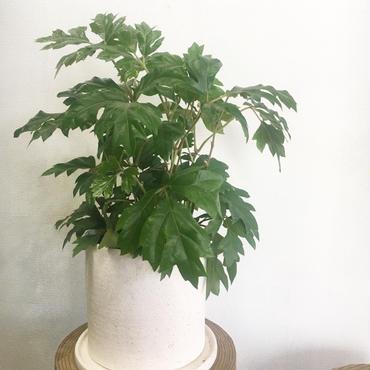 観葉植物 カンガルーアイビー