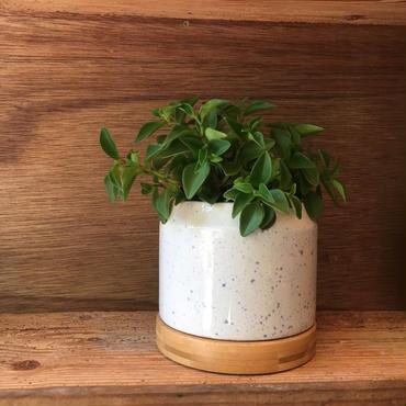 観葉植物 育てやすいペペロミア
