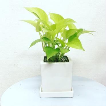 観葉植物 ポトスライムホワイトキューブポット