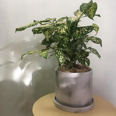 観葉植物 ドラセナ'ゴッドセフィアーナ '
