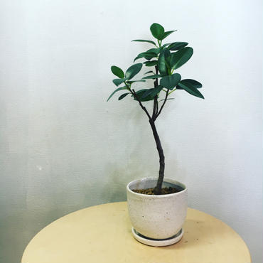 観葉植物 フランスゴム