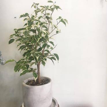 観葉植物 ベンジャミン斑入り