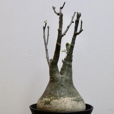 《塊根植物》Adenia glauca