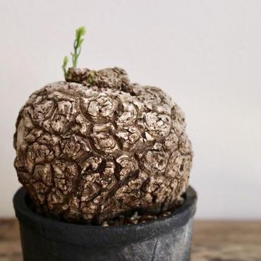 《塊根植物》stephania venosa