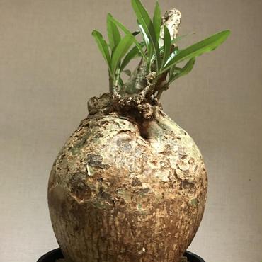 《塊根植物》Adenium somalense