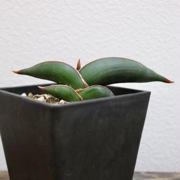 【希少植物】sansevieria rorida  サンスベリア ロリダ