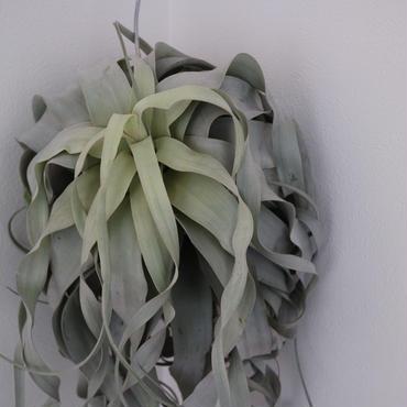 《希少植物》エアープランツ Tillandsia xerographica