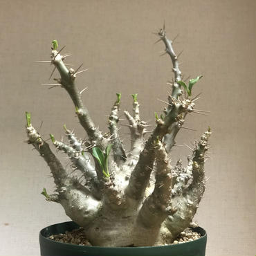 【塊根植物】Pachypodium saundersii