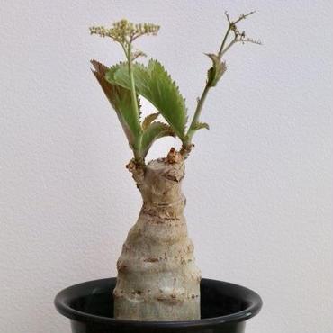 《塊根植物》Cyphostemma juttae