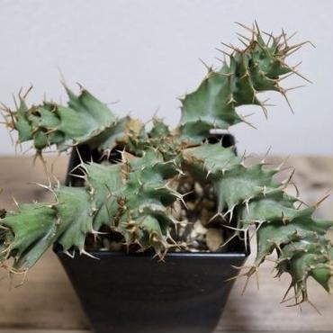《塊根植物》Euphorbia tortirama ユーホルビア  トルチラマ