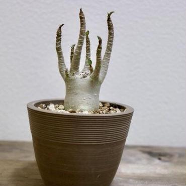 【塊根植物】Adenium arabicum