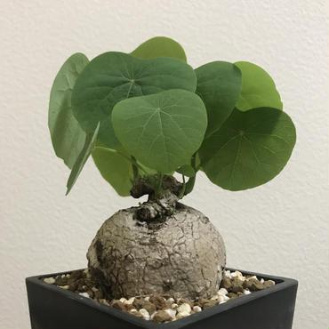 《塊根植物》Stephania venosa ステファニア ヴェノサ