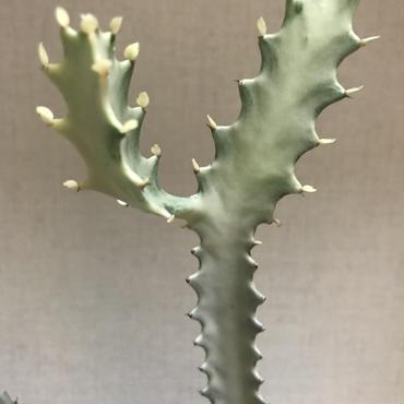 《塊根植物》Euphorbia lactea White Ghost