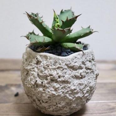 【多肉植物】Agave titanota compact