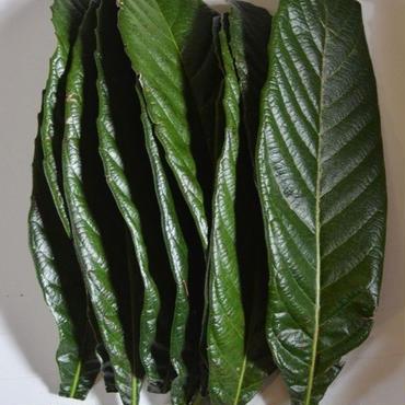 びわの 生葉  サイズ混合  15枚